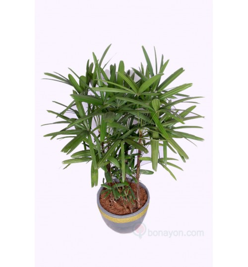 Rhapis Palm Indoor Plant Large Size Bush Shape With Golden White Planter